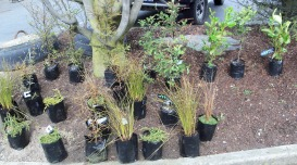 Our 26 native trees, waiting to be planted